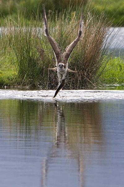 IMG_5620 - Ospreys