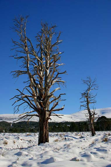 caledonian tree - trees