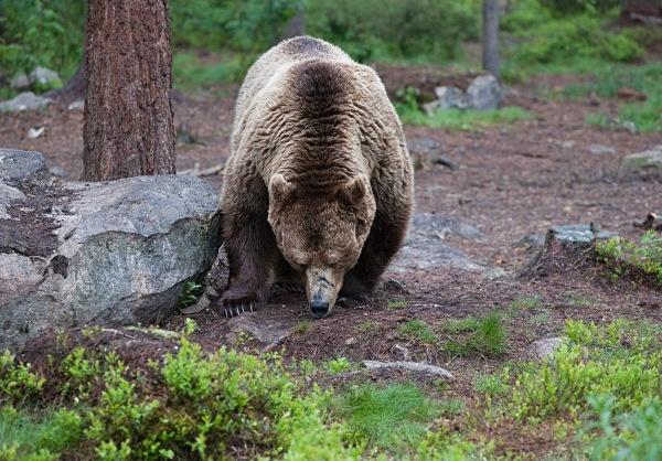 PJDBears-017 - Brown Bears