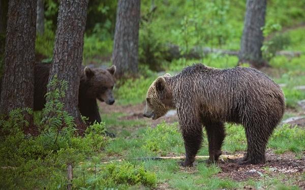 PJDBears-002 - Brown Bears