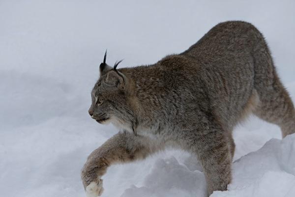 Lynx 6, IMG_0499 - Nature