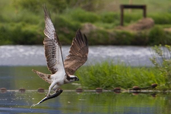 IMG_5624 - Ospreys