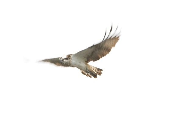 IMG_5563 - Ospreys