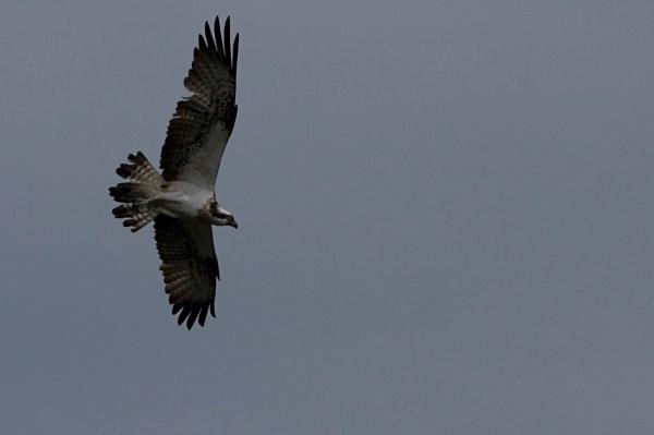 IMG_5419 - Ospreys