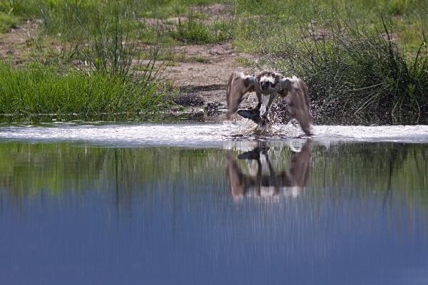 IMG_5600 - Ospreys