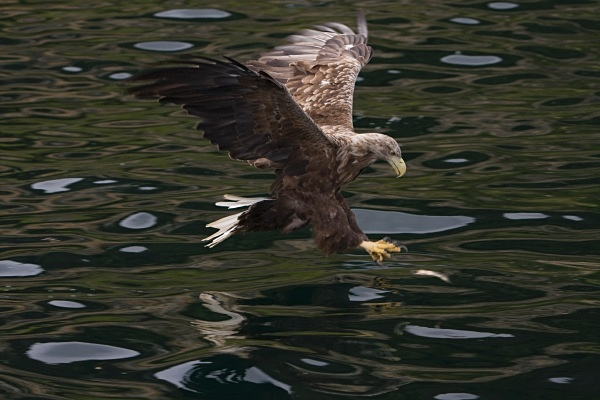 _MG_4738 - White Tailed Eagles