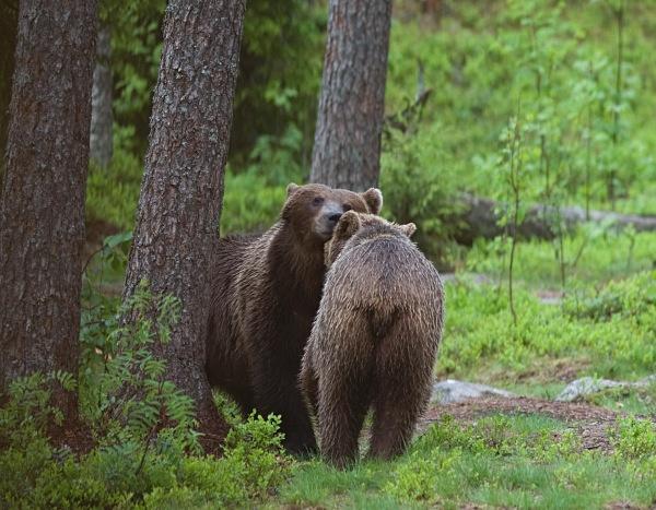 PJDBears-003 - Brown Bears
