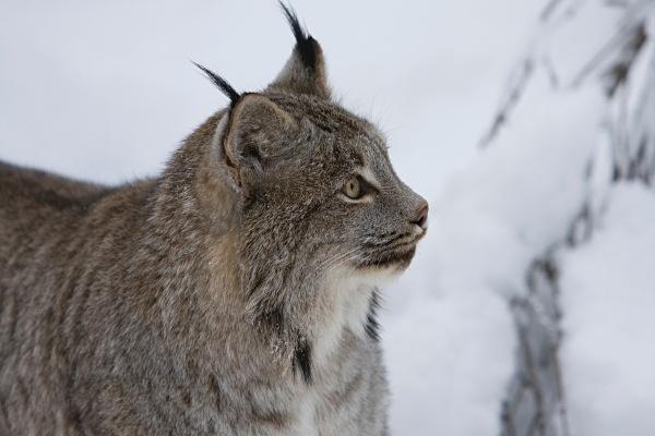 Lynx 2, IMG_0354 - Nature