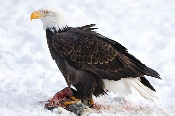 Bald Eagle feeding, IMG_1517 - Nature