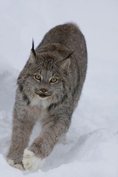 Lynx 5, IMG_0459 - Nature