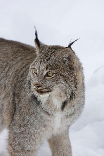 Lynx 4, IMG_0369 - Nature