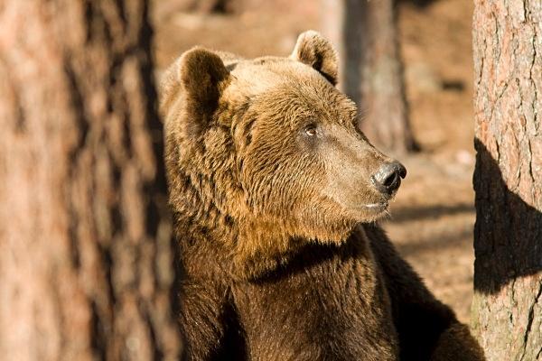 PJDBears-022 - Brown Bears