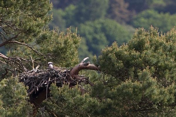 IMG_5373 - Ospreys