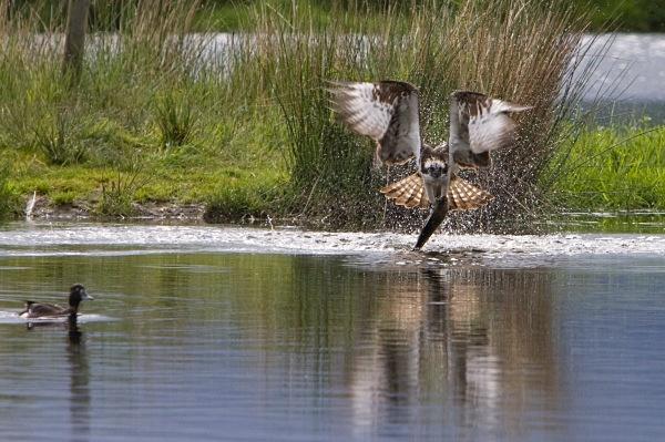 IMG_5617 - Ospreys
