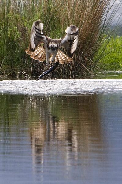 IMG_5621 - Ospreys