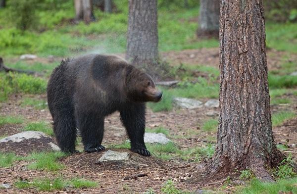 PJDBears-005 - Brown Bears