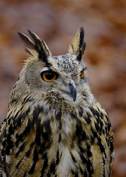 Eagle Owl - Birds: Captive
