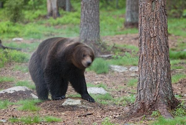 PJDBears-006 - Brown Bears
