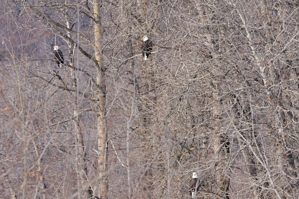 Bald eagles Roosting, IMG_1336 - Nature