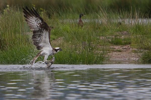 IMG_8450 - Ospreys