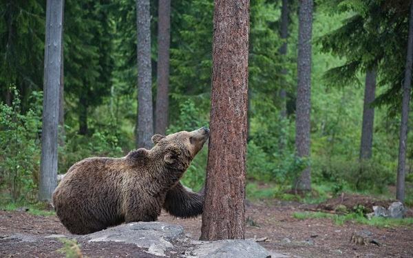 PJDBears-016 - Brown Bears