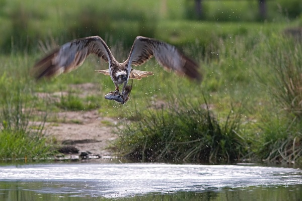 IMG_5609 - Ospreys