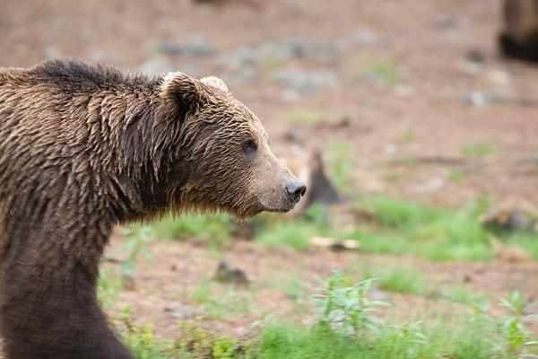 PJDBears-009 - Brown Bears