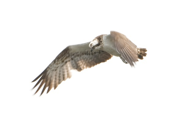 IMG_5565 - Ospreys