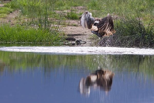 IMG_5603 - Ospreys