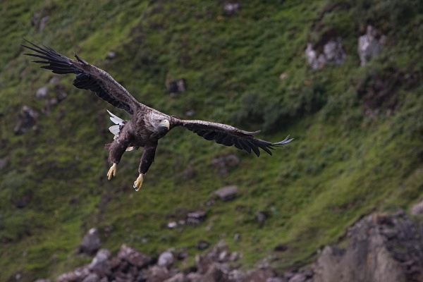 _MG_4729 - White Tailed Eagles