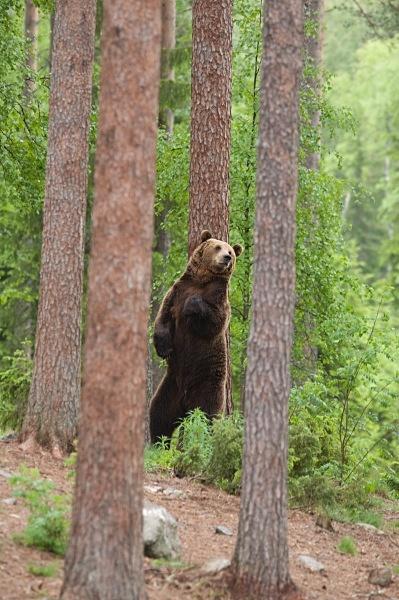 PJDBears-007 - Brown Bears