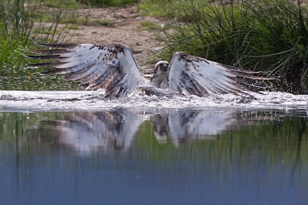 IMG_5597 - Ospreys