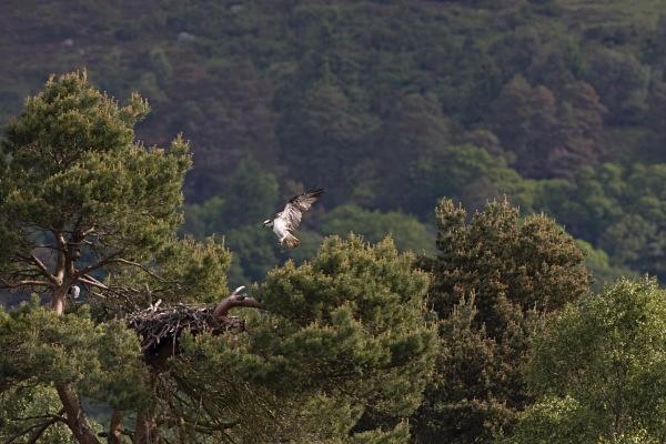 IMG_5370 - Ospreys