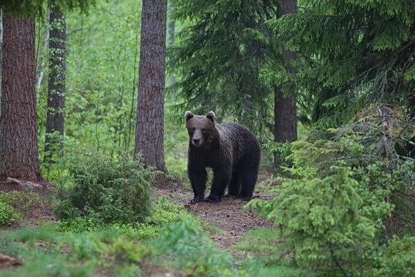 PJDBears-001 - Brown Bears