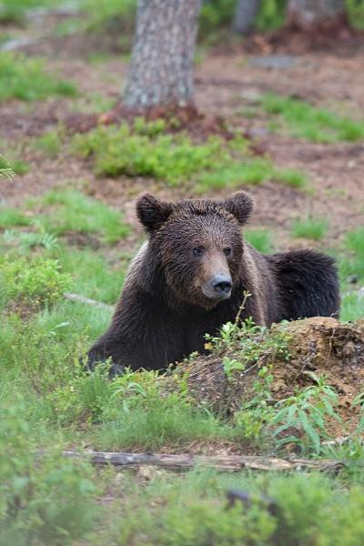 PJDBears-010 - Brown Bears