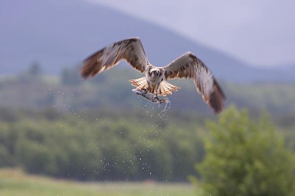 IMG_5612 - Ospreys