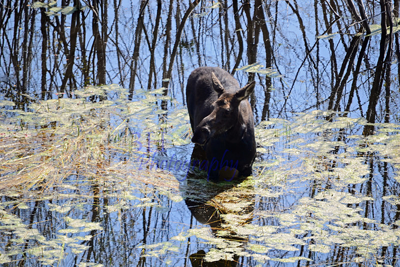 Moose Reflection - 3H Note Card Images