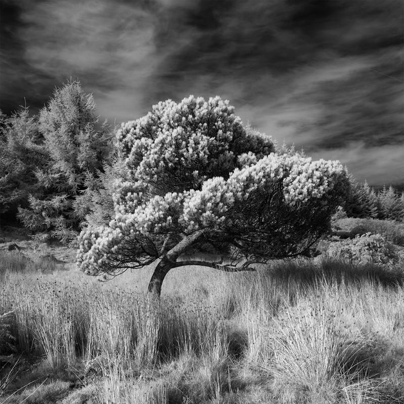 A wee bonny tree - Black & White