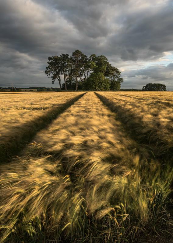 The barley run - Landscapes