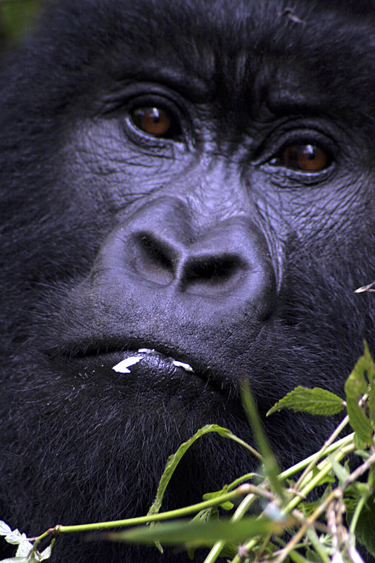 - Mountain Gorillas of Rwanda and Uganda