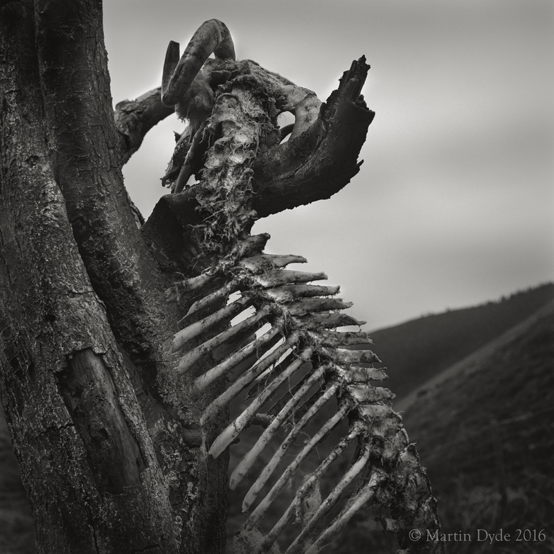 Dead sheep on Long Mynd, Shrophsire, England | The Silver Monochrome: black-and-white film photography by Martin Dyde