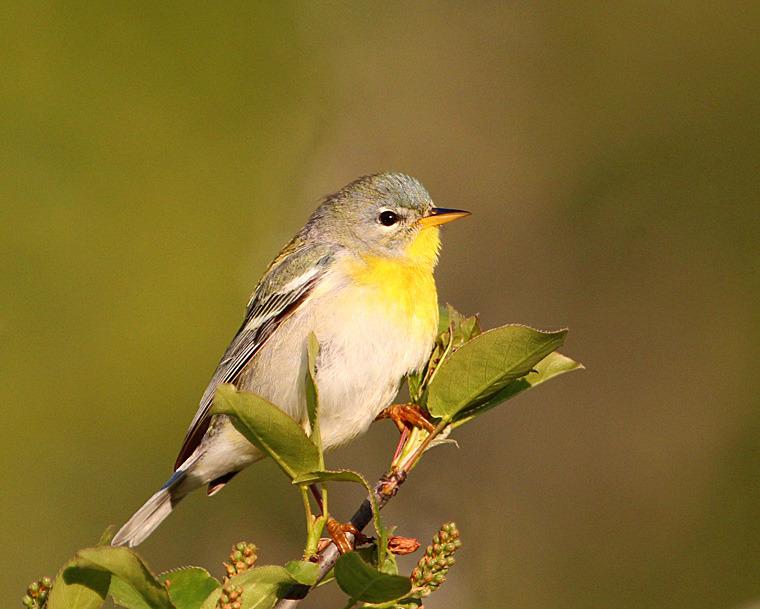 Northern Parula - Female - Birds of Atlantic Canada