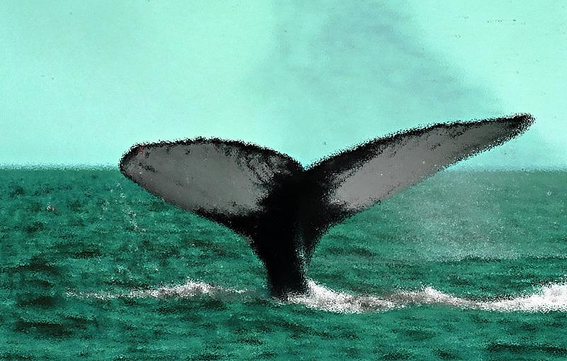 Humpback Whale Megaptera novaeangliae - Bay of Fundy Whales