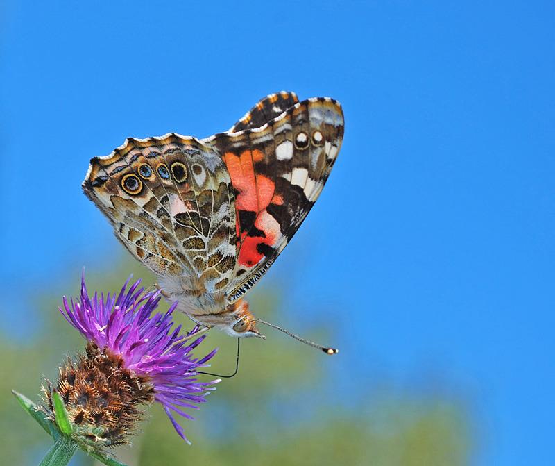 Painted Lady - 1 - Butterflies & Moths of Atlantic Canada