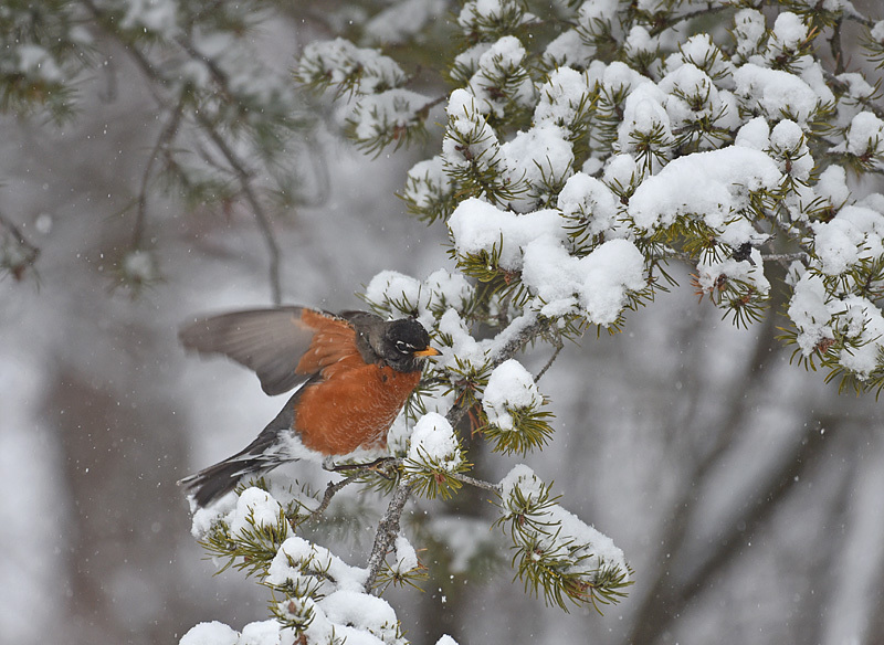 American robin in winter Turdus migratorius - Birds of Atlantic Canada