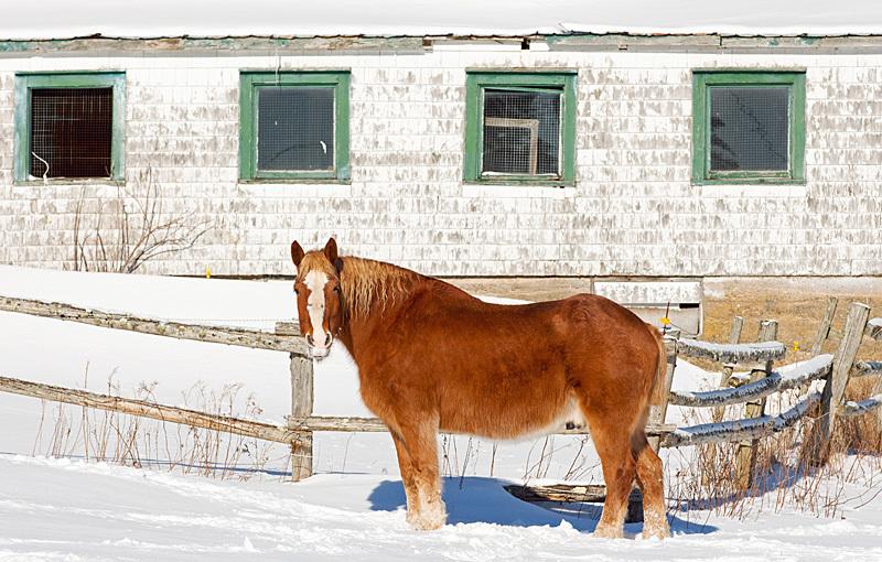 Draft Horse in Winter - Mammals, Reptiles & Amphibians