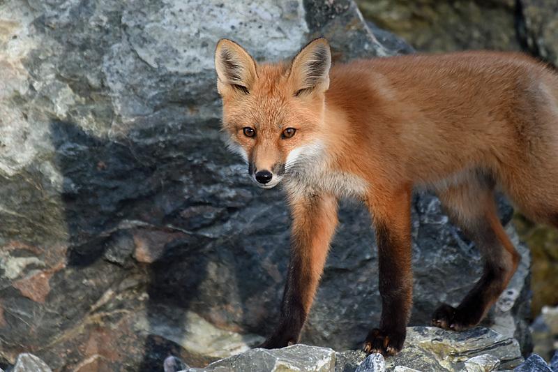 Red Fox Kit Vulpes Vulpes - Mammals, Reptiles & Amphibians