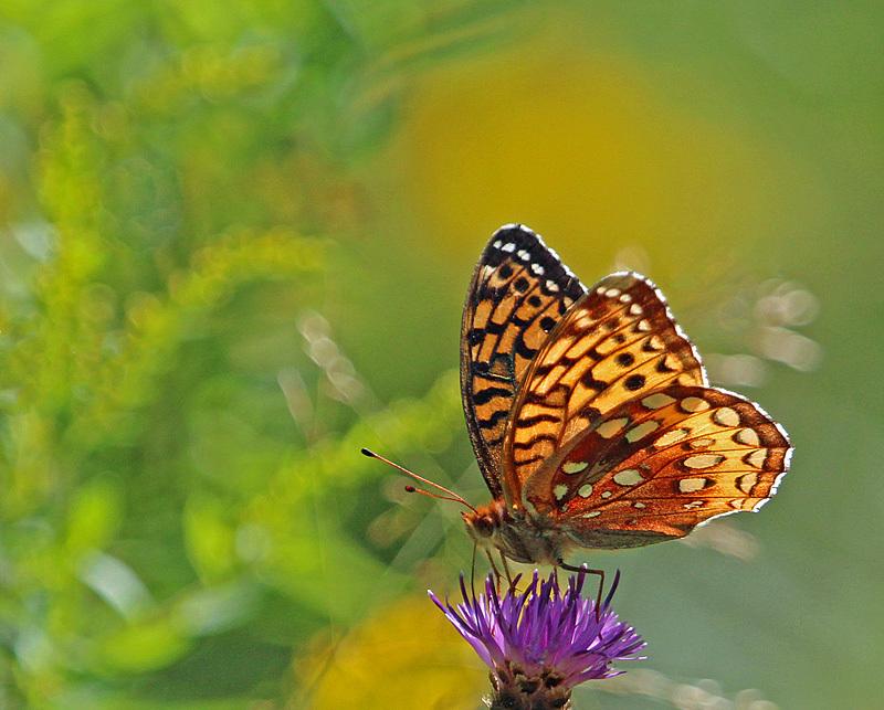 Great Spangled Fritillary - Butterflies & Moths of Atlantic Canada