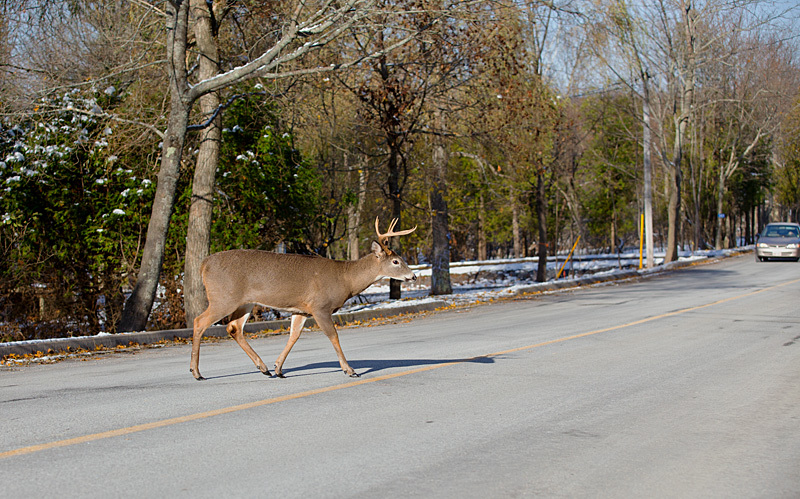 Deer Crossing - Mammals, Reptiles & Amphibians