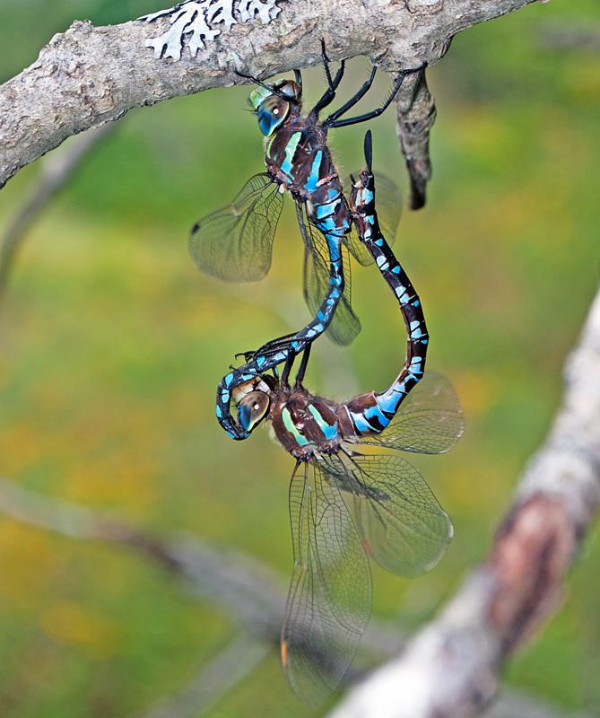 Lance-tipped Darner (mating pair) - Dragonflies of Atlantic Canada